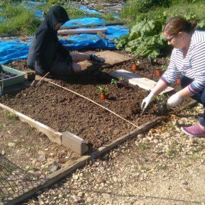 Planting strawberries